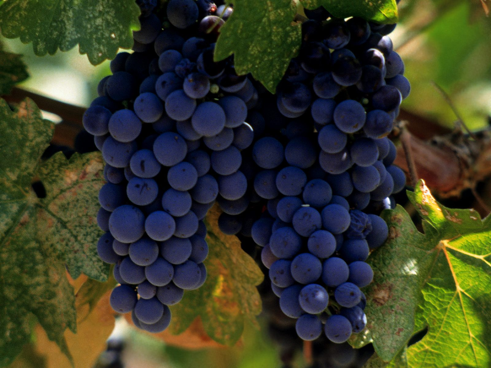 Experience the black wine of Cahors, in the true home of the Malbec grape….